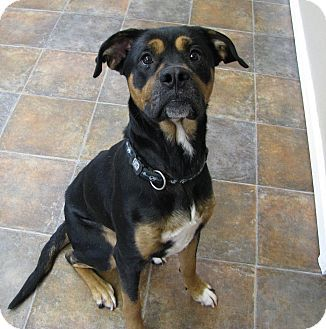 Boxer Rottweiler Mix Dog For Adoption In Lisbon Ohio Marlin