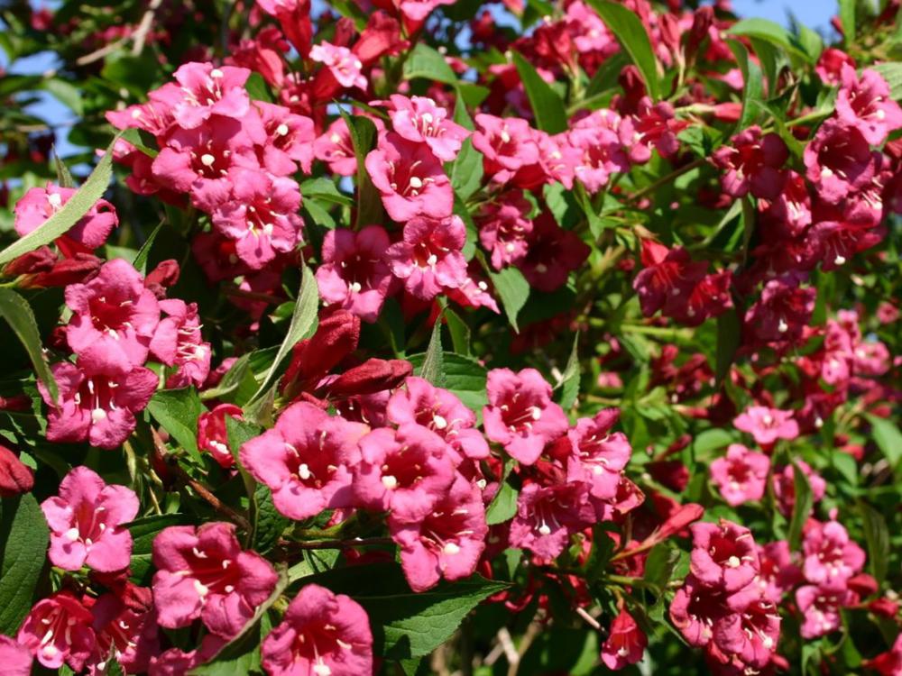 Weigelie Bristol Ruby Weigela Bristol Ruby Baumschule Horstmann In 2020 Weigelie Pflanzen Bristol