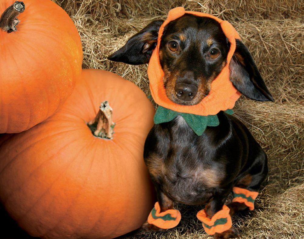 Chiquita ms october 2009 dachshund rescue dachshund