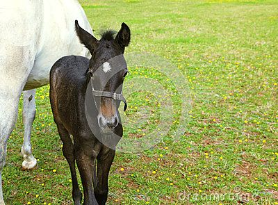 Download The White Horse With  Black Colt. Royalty Free Stock Photo for free or as low as 0.47TL. New users enjoy 60% OFF. 22,126,196 high-resolution stock photos and vector illustrations. Image: 32244835
