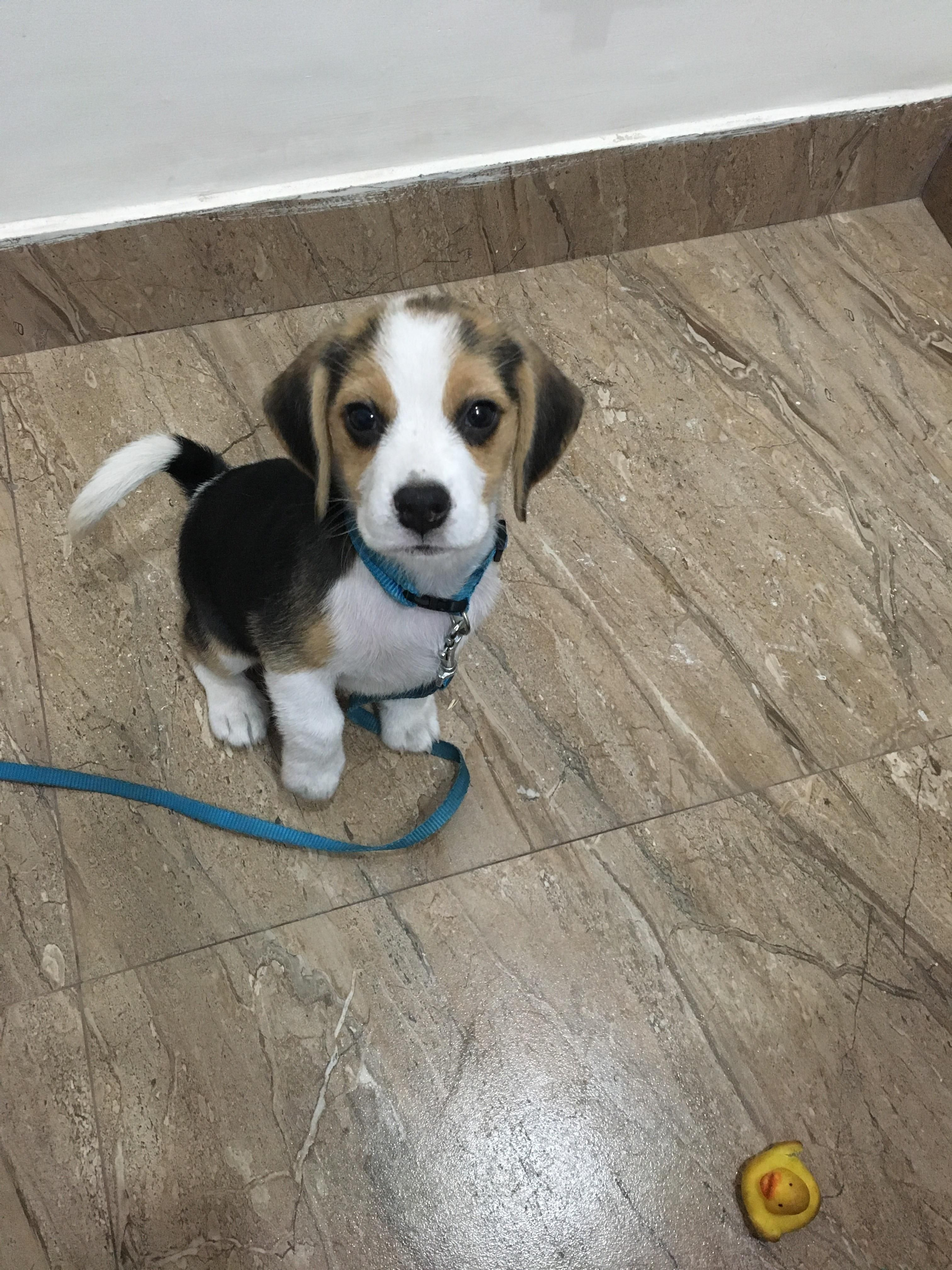 First Time Beagle Owner And Just Found This Sub Meet Zinni And