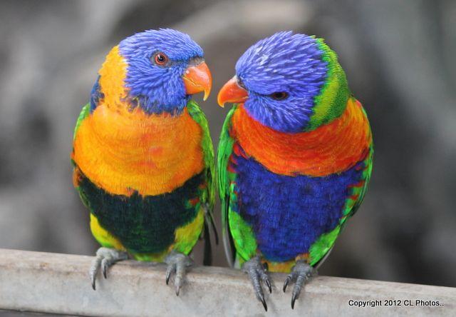 Red Collared Lorikeet And Rainbow Lorikeet Trichoglossus
