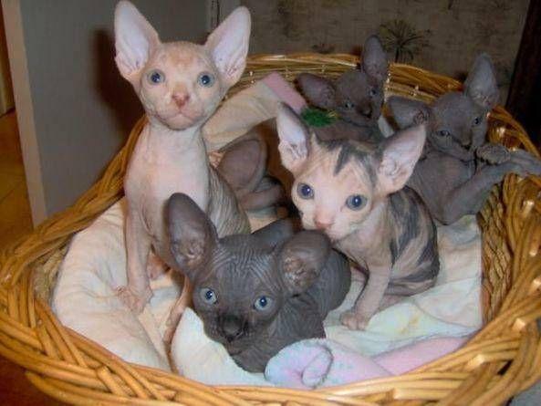 Sphynx Kitten Adoption Hairless Cat Hairless Kitten