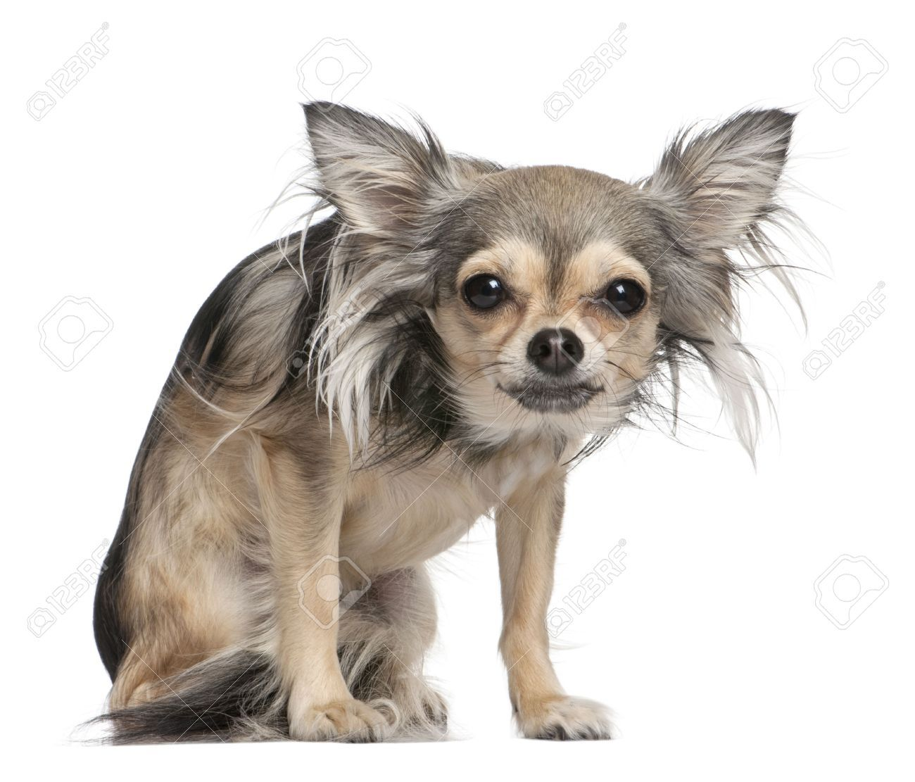 long hair chihuahua Google Search Chihuahua, Long