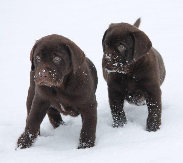 Lab Puppies For Sale Labrador Retirever Breeders In Georgia