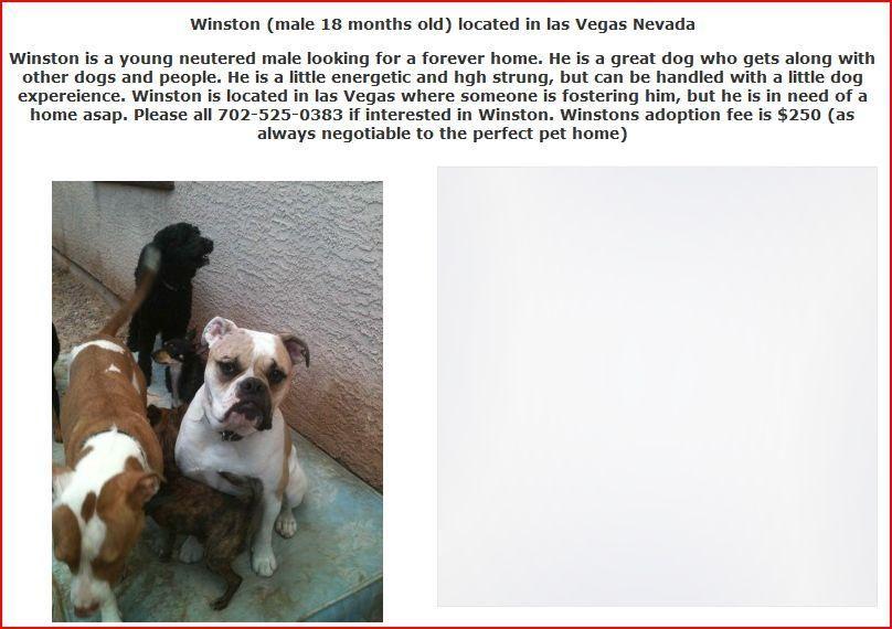 Bulldogge Rescue In Las Vegas Nevada Needing A Loving Home Young