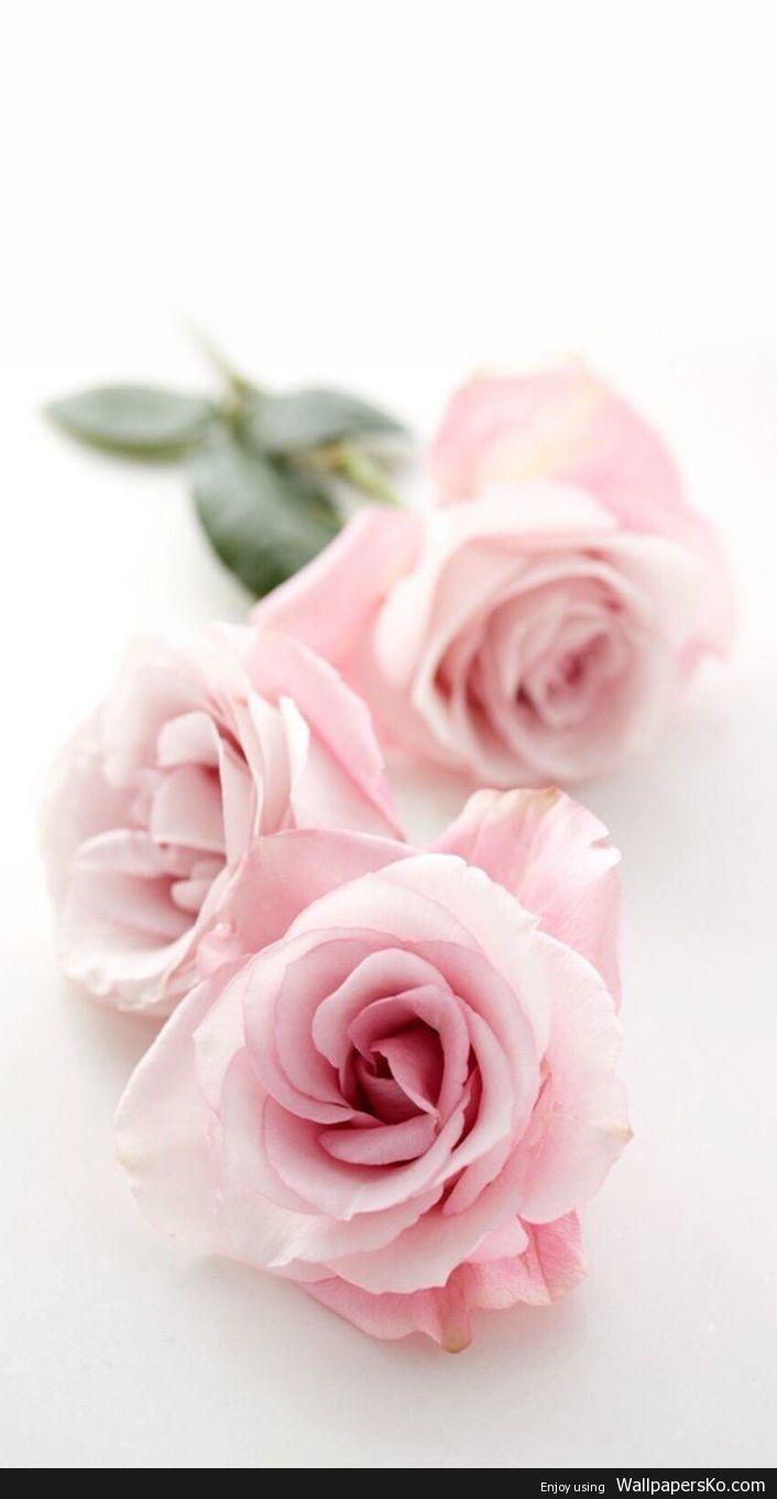 Pink Rose Iphone Wallpaper Http Wallpapersko Com Pink Rose Iphone Wallpaper Html Hd Pink Flowers Wallpaper Pink Flowers Background Cute Flower Wallpapers