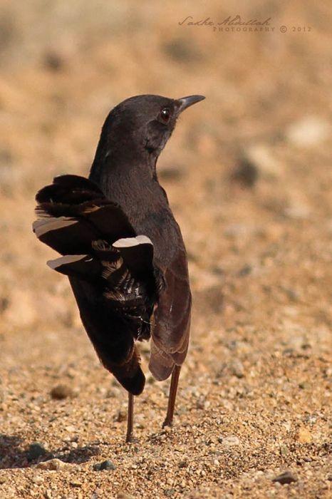 Black Bush Robin أبو الحناء الأسود Beautiful Birds Little Birds Birds