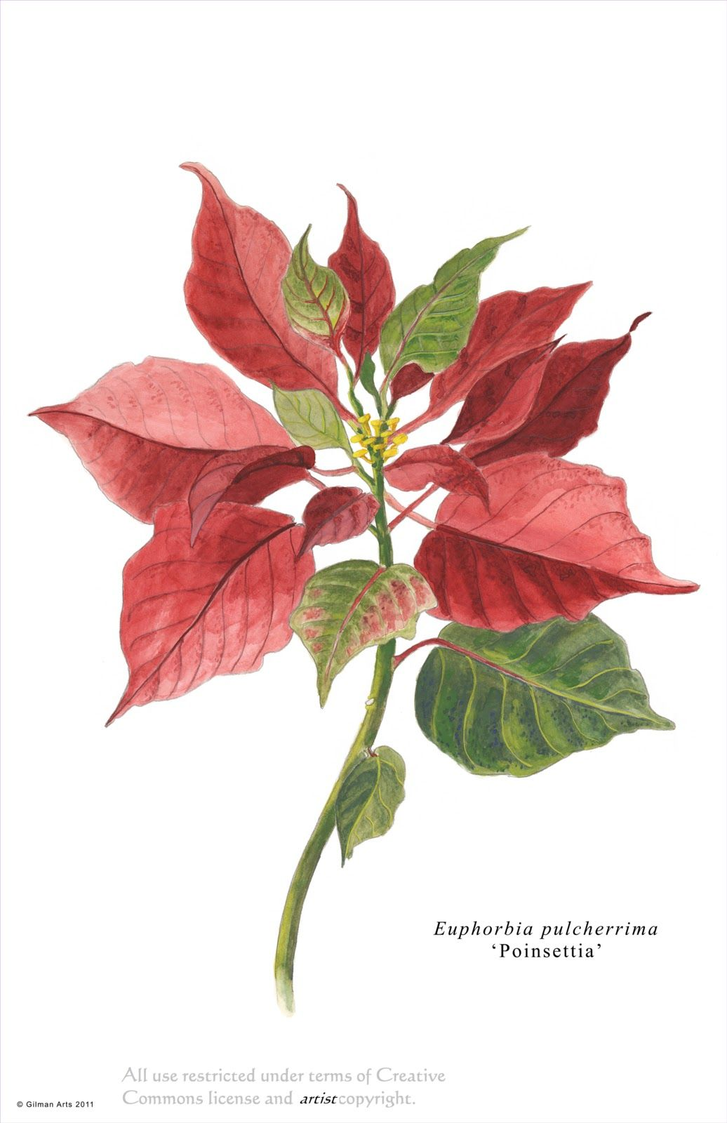 poinsettia - WOW.com - Image Results | christmas motives | Pinterest ...