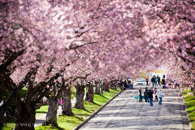 Cherry Bloom Block Party Cherry Blooms Vancouver Cherry Blossom