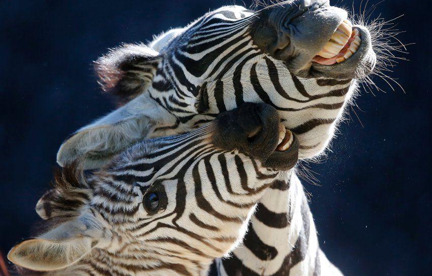 Spielende Zebras (im Zoo von Wuppertal)
