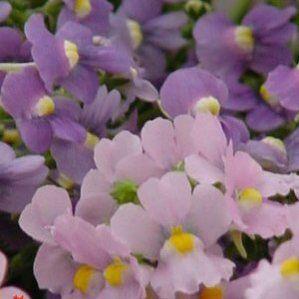 Nemesia fruticans nombre popular tipolog a planta vivaz for Arbustos de hoja perenne resistentes al frio