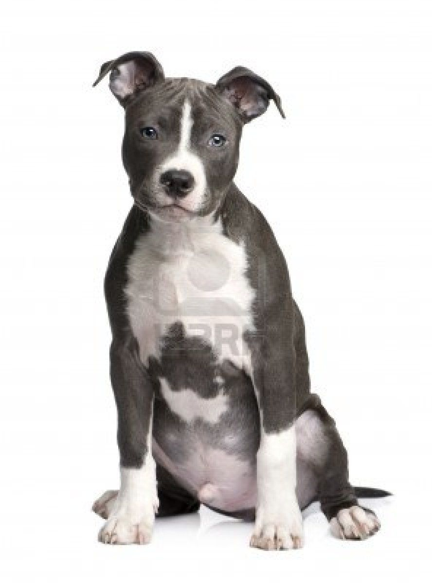 Stock Photo American Staffordshire Terrier Puppies Pitbulls