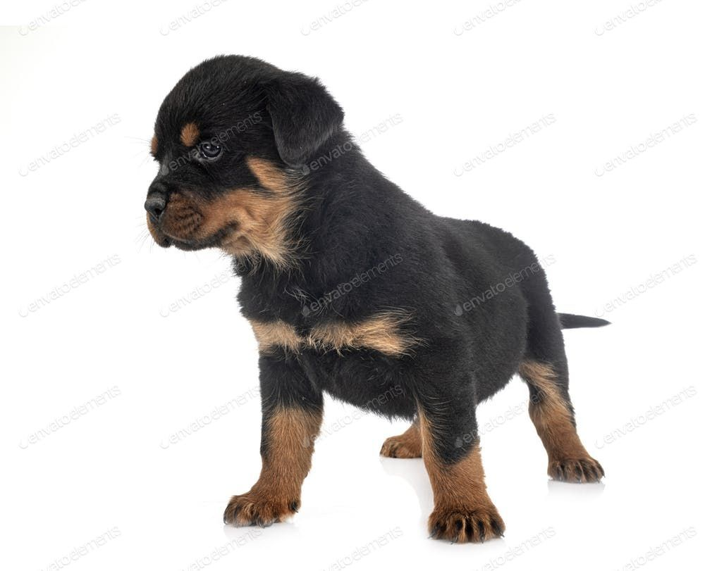 Puppy Rottweiler Puppy Rottweiler Puppy Puppy Rottweiler