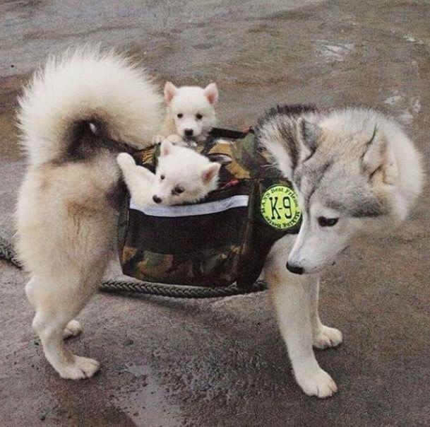 Momma And Her Precious Cargo Hauskat Koirat Koira Pentu