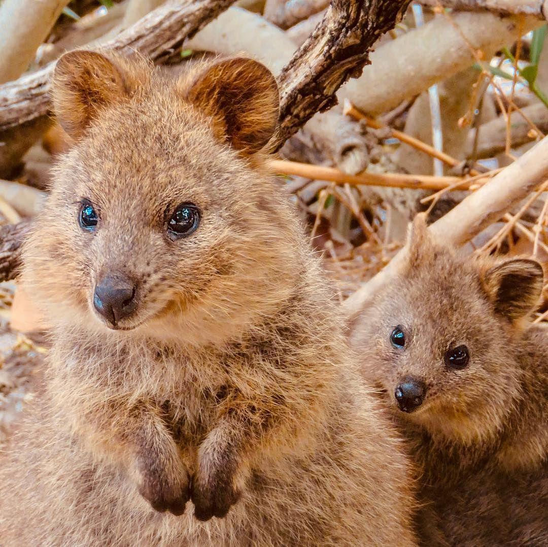 Pin By Shespells On Animalia Quokka Happy Animals Cute Animals