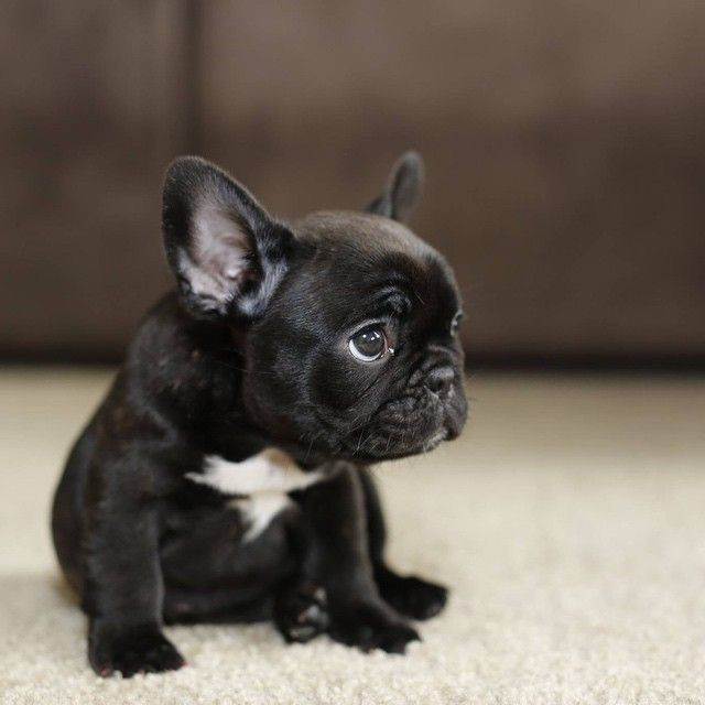 My Dream Puppy All Black French Bulldog The White Collar Is Cute