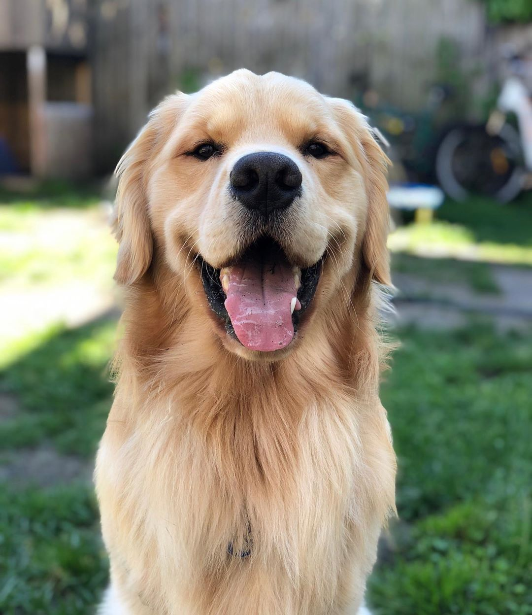 Ryder On Instagram Dis Is My Happy Face Sundayfunday Funny Dog Videos Dogs Of The World Golden Retriever