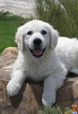 Golden Retriever Puppies Pictures Golden Retriever White Golden