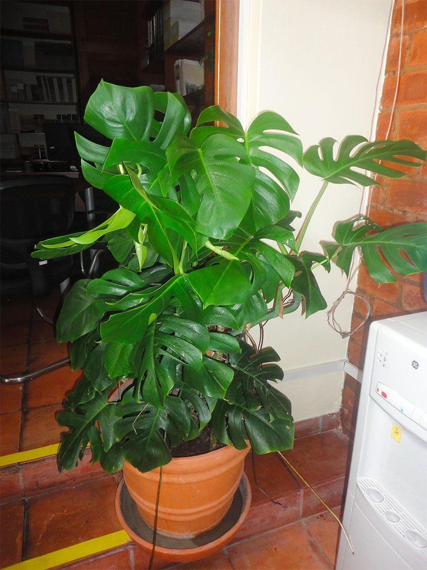 La monstera deliciosa costilla de ad n y un ejemplar for Plantas ornamentales de interior