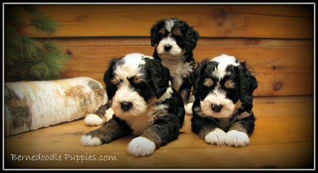 Bernedoodle Puppies Ottawa Bernedoodle Puppy Puppies