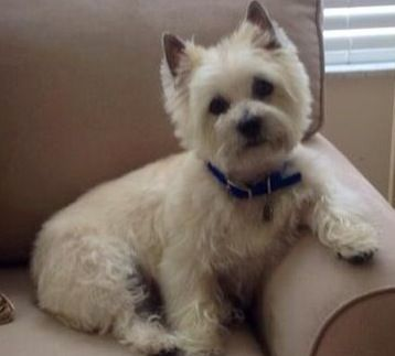 Carley Cairn Terrier Terrier Dog Cat