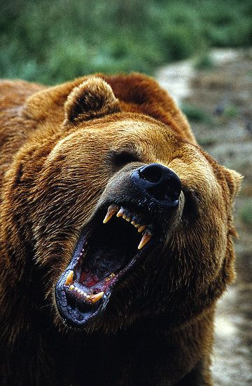 Gotta love the GRIZZ!!!! …   Bears   Tatto…