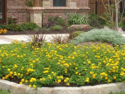 Chapel hill yellow hardy lantana perennials hummingbird and buy buy chapel hill yellow hardy lantana 3 count flat of pint pots perennials for attracting hummingbirds mightylinksfo Image collections