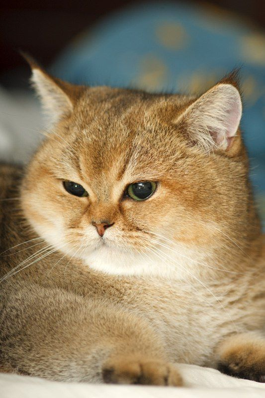 Perchik, cats, bri cats, british shorthair, ny 25, british golden