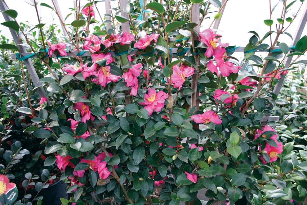 Sunless Success 15 Great Easy To Grow Shrubs For Shade