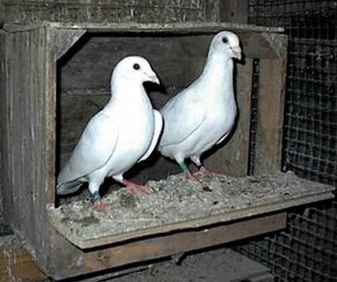 Doves For Sale >> White Doves For Sale Homing Pigeons Wedding Release Dove Baby