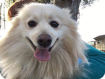 Whitehall Pa Pomeranian Mix Meet Casper A Dog For Adoption Pomeranian Mix Dog Adoption Pets