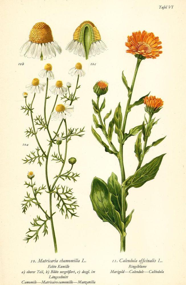 ECHTE KAMILLE RINGELBLUME Botanik Farbdruck Antiker Druck Antique ...