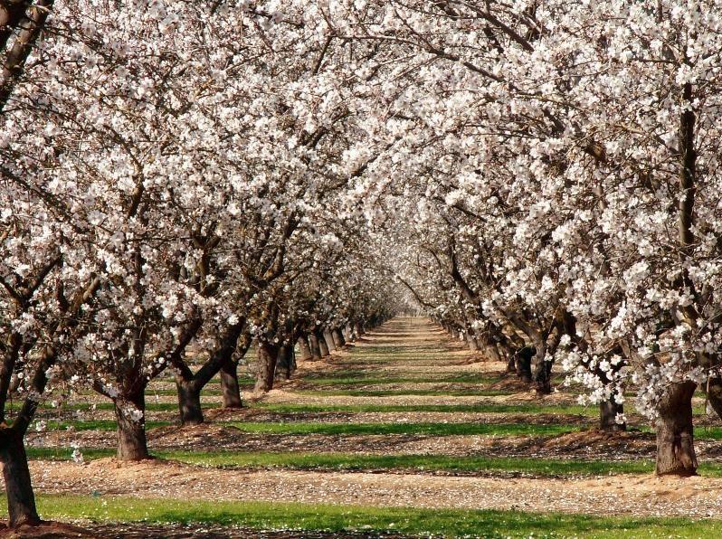 Almond Tree Blossom Almond Tree Winter Plants Flowering Trees
