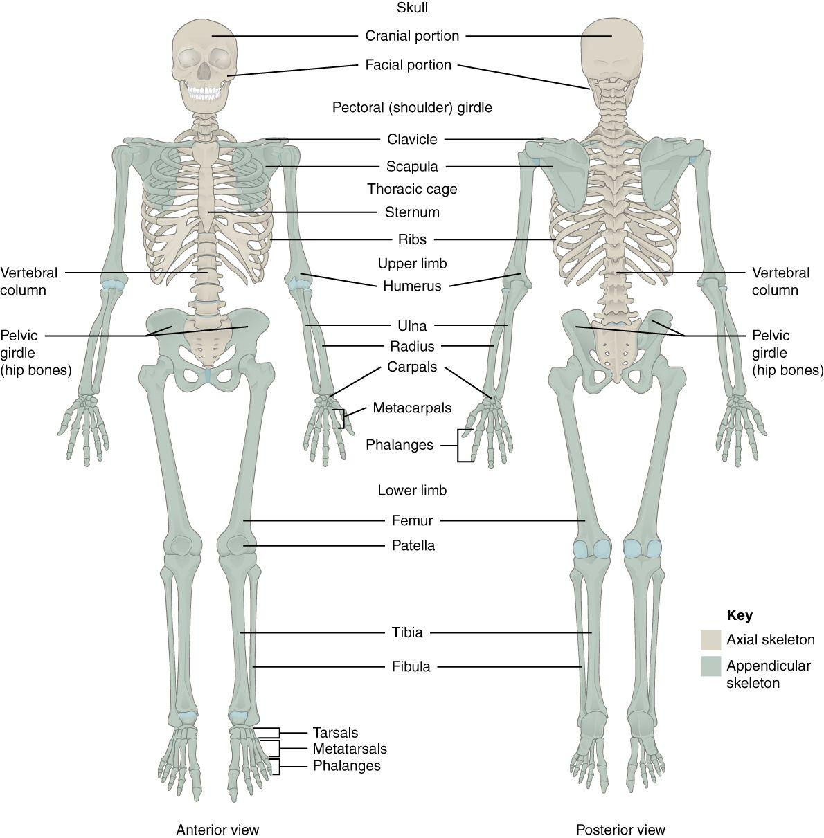Image result for anatomy of the pelvic region | Anatomy | Pinterest