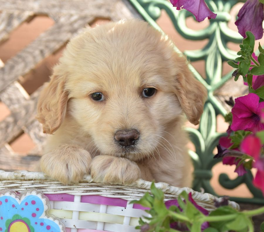 goldendoodle puppies for sale in lancaster pa