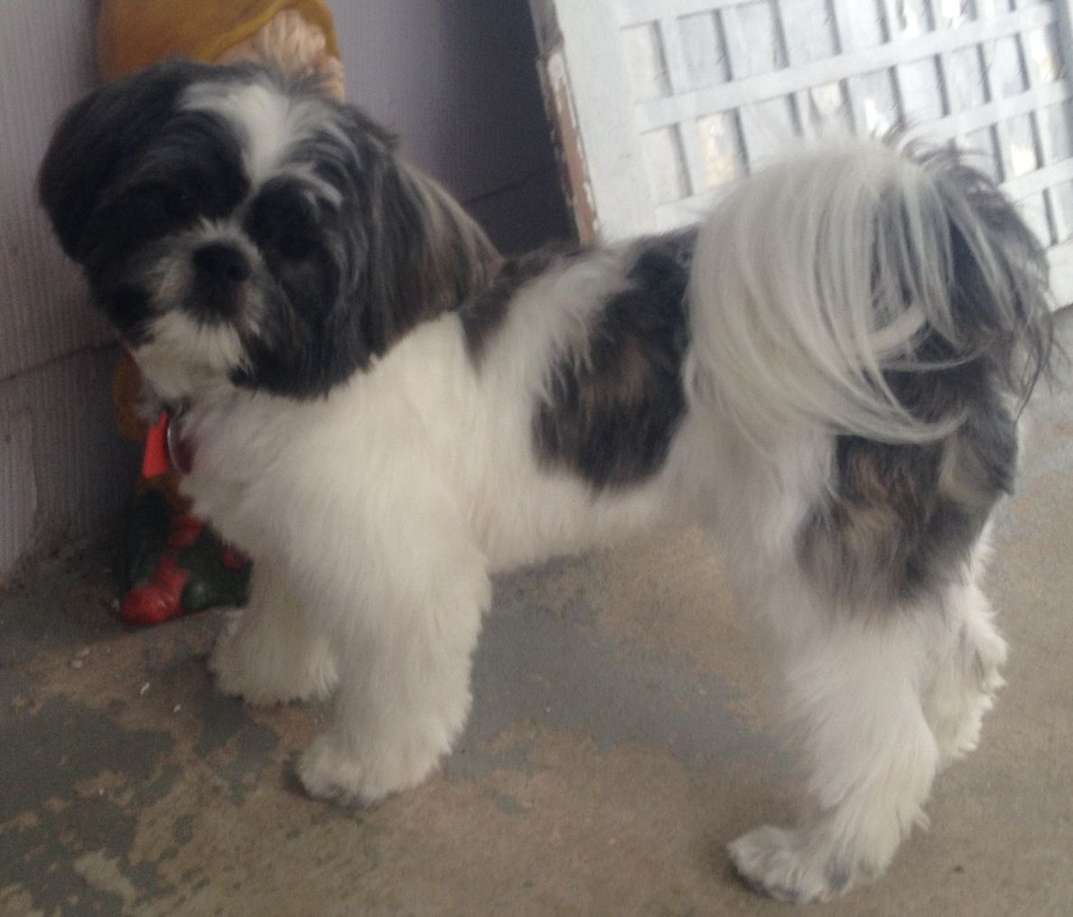 My Baby Shih Tzu Chewy 3 His New Hair Do He S So Stinkin Cute I Love My Puppy 9 1 2 Months Old 3 Dog Grooming Shih Tzu Shih Tzu Grooming Baby Shih Tzu