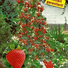 erdbeeren pflanzen die wichtigsten tipps klettern erdbeeren und pflanzen. Black Bedroom Furniture Sets. Home Design Ideas