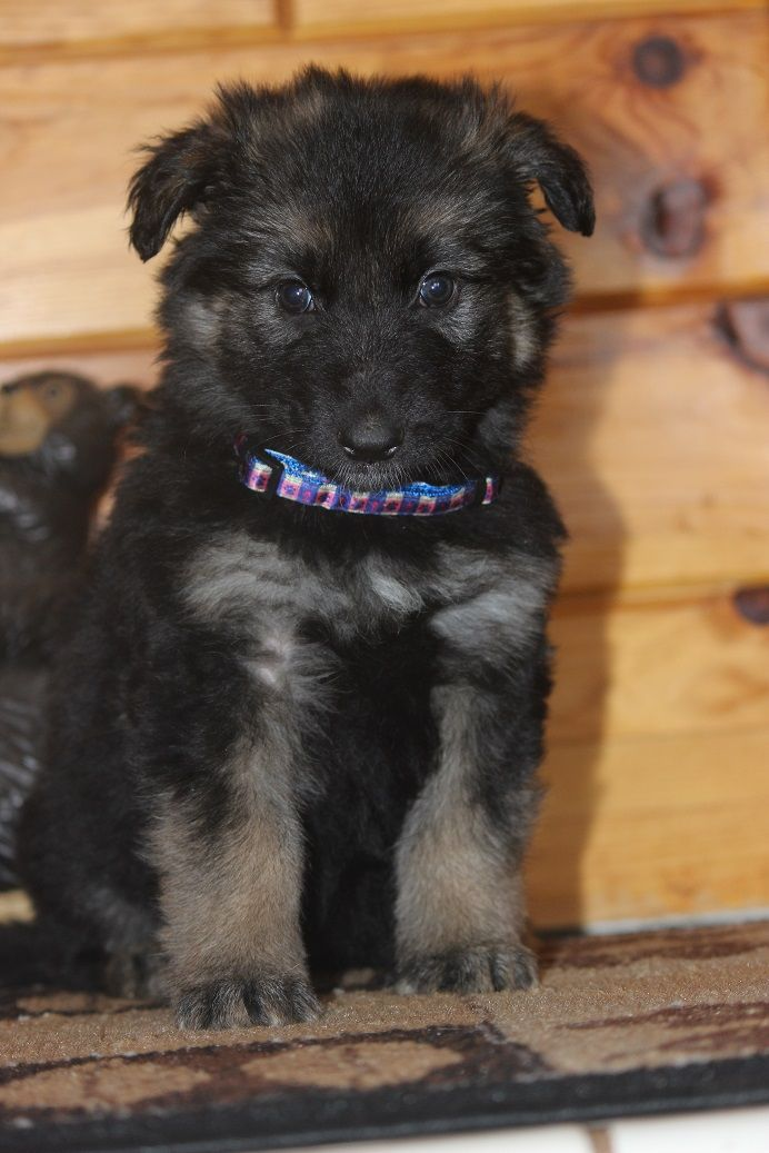 German Shepherd For Sale Michigan German Shepherd German