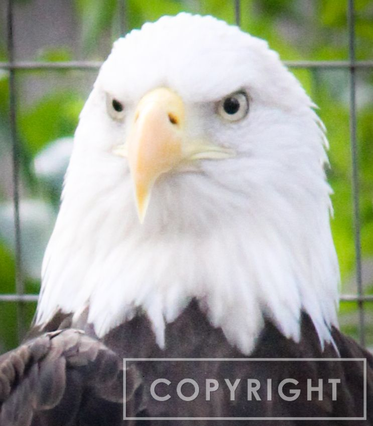 Photo of the Day American Bald Eagle 4 Bald eagle
