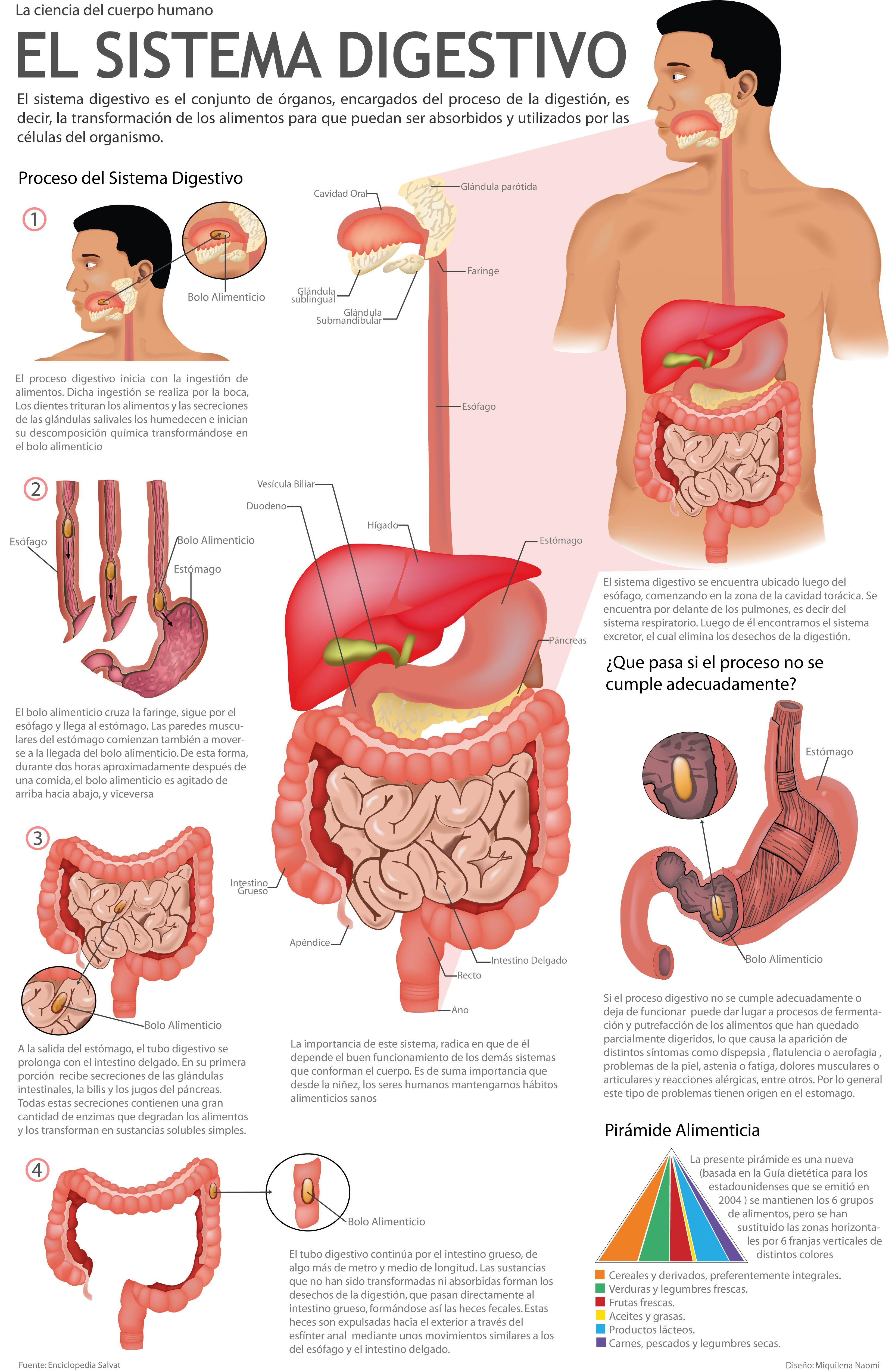 Sistemadigestivo Infografia Infographic Vectores Diseñografico Anatomia Y Fisiologia Humana Anatomia Y Fisiologia Anatomía Médica