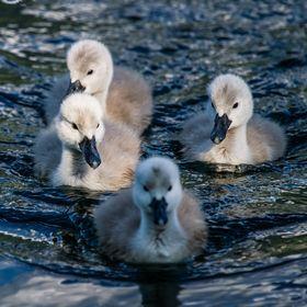 Photo Baby Swans by Bernhard Minatti on 500px
