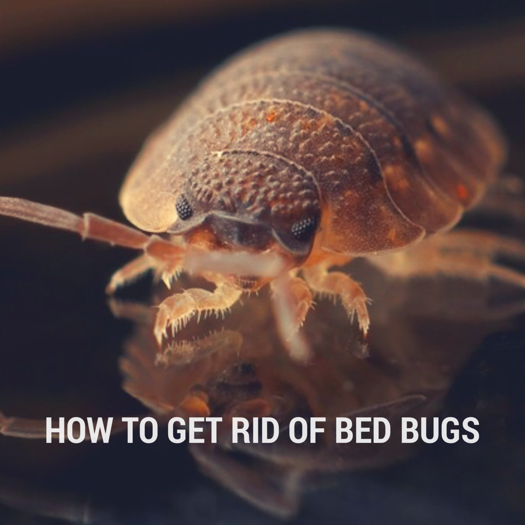 Tips for How to Get Rid of Bed Bugs tips cleaningtips