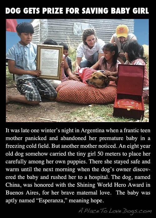 A dog mothering her pups saves an abandoned new born baby in Buenos Aires. Keeping it warm through the night until the owners checked on the dog in the AM. The child survived. Earning the dog an award called Shining World Hero Award.