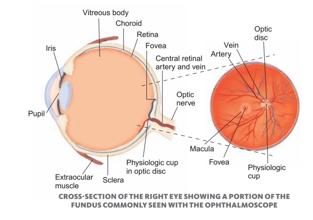 Exelent Optic Disc Anatomy Vignette - Human Anatomy Images ...