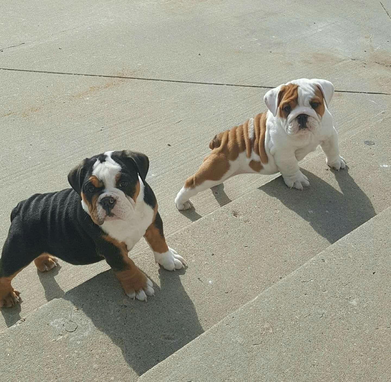 Amazing English Bulldog Puppies Dogs Bulldog Puppies English