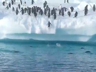 As funny as these Gentoo Penguins are, attempting to jump onto the huge iceberg. #Animals