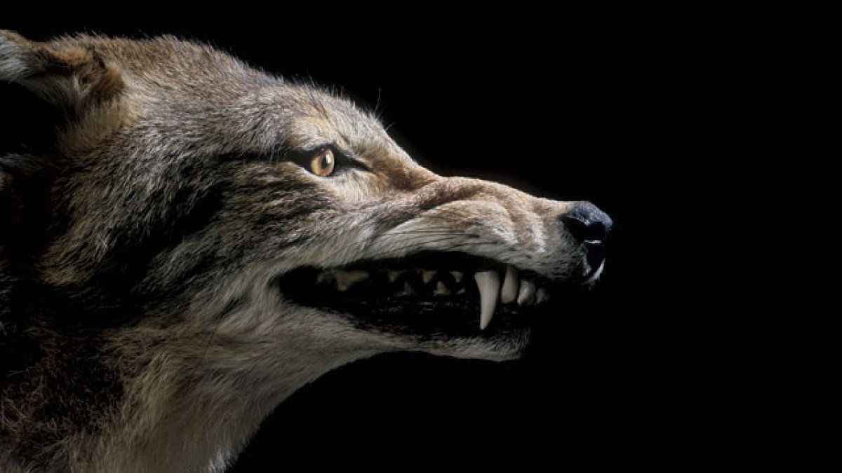 Фото рисунок оскал волка