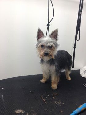 Dog Grooming Gallery Muddy Paws Mobile Dog Grooming Staffordshire
