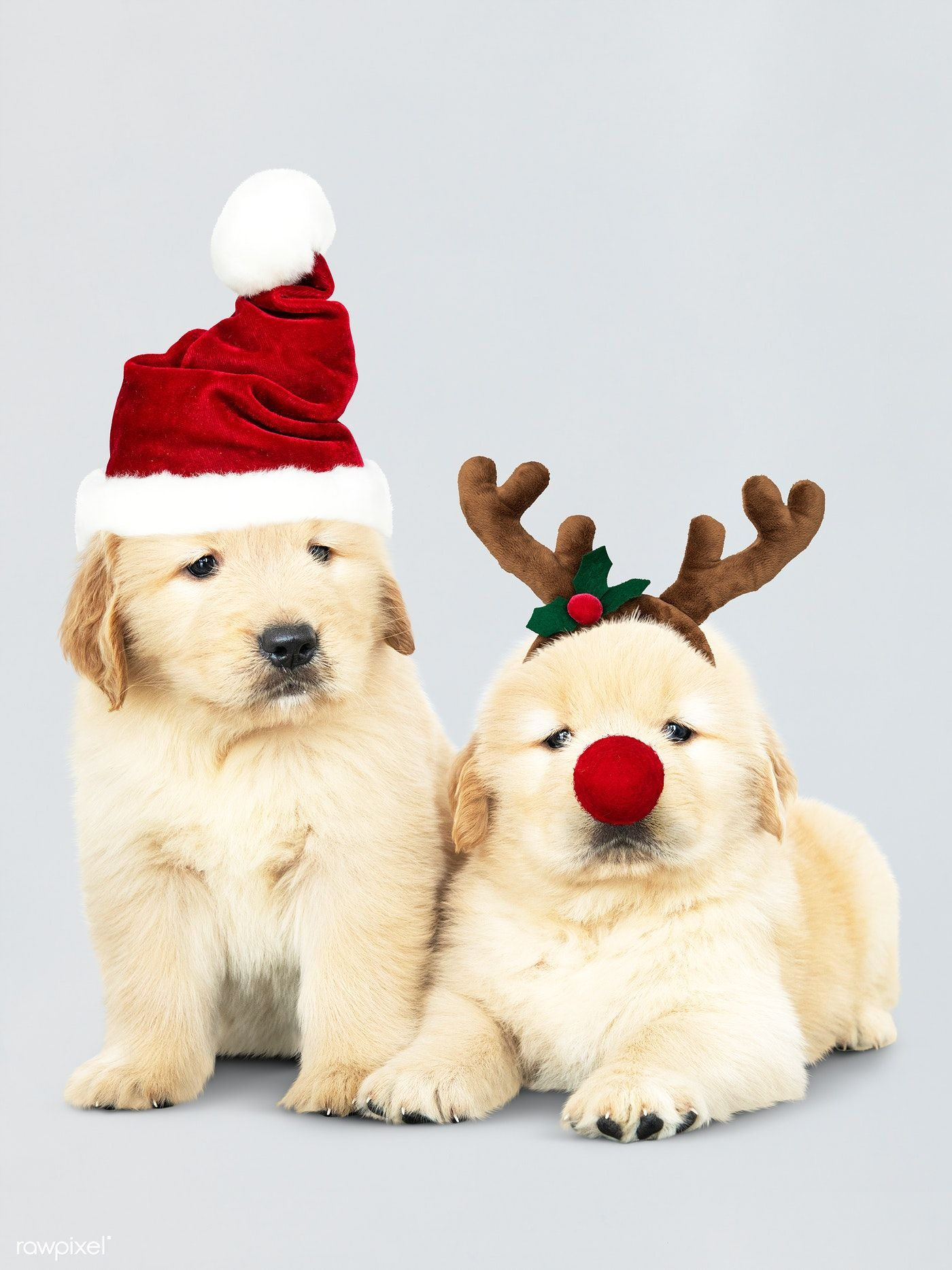 Download Premium Psd Of Two Golden Retriever Puppies Wearing A